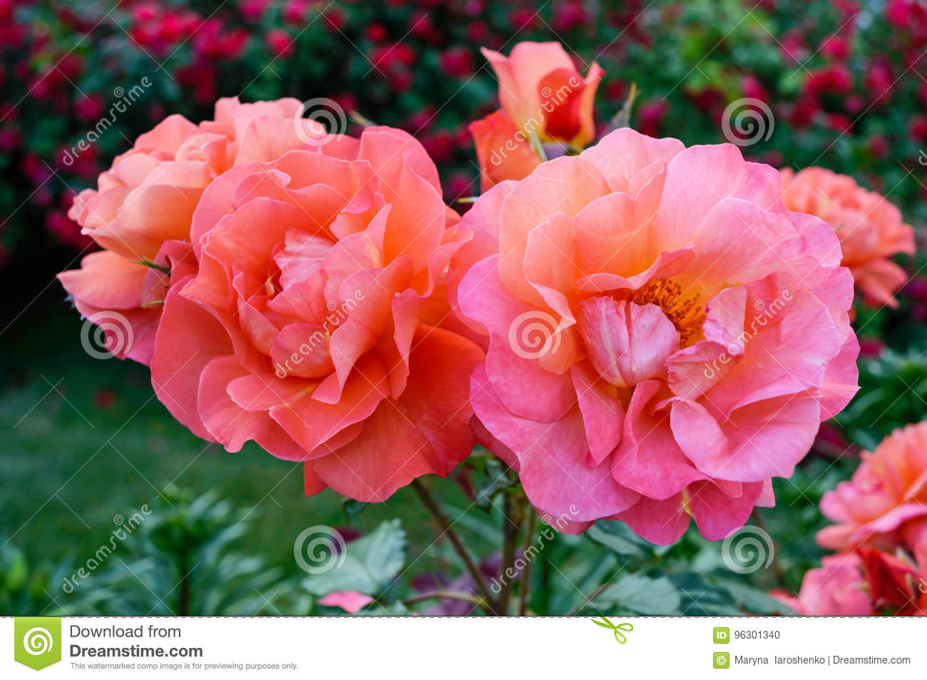 Lush Bush Of Bright Pink Roses On A Background Of Nature Flower
