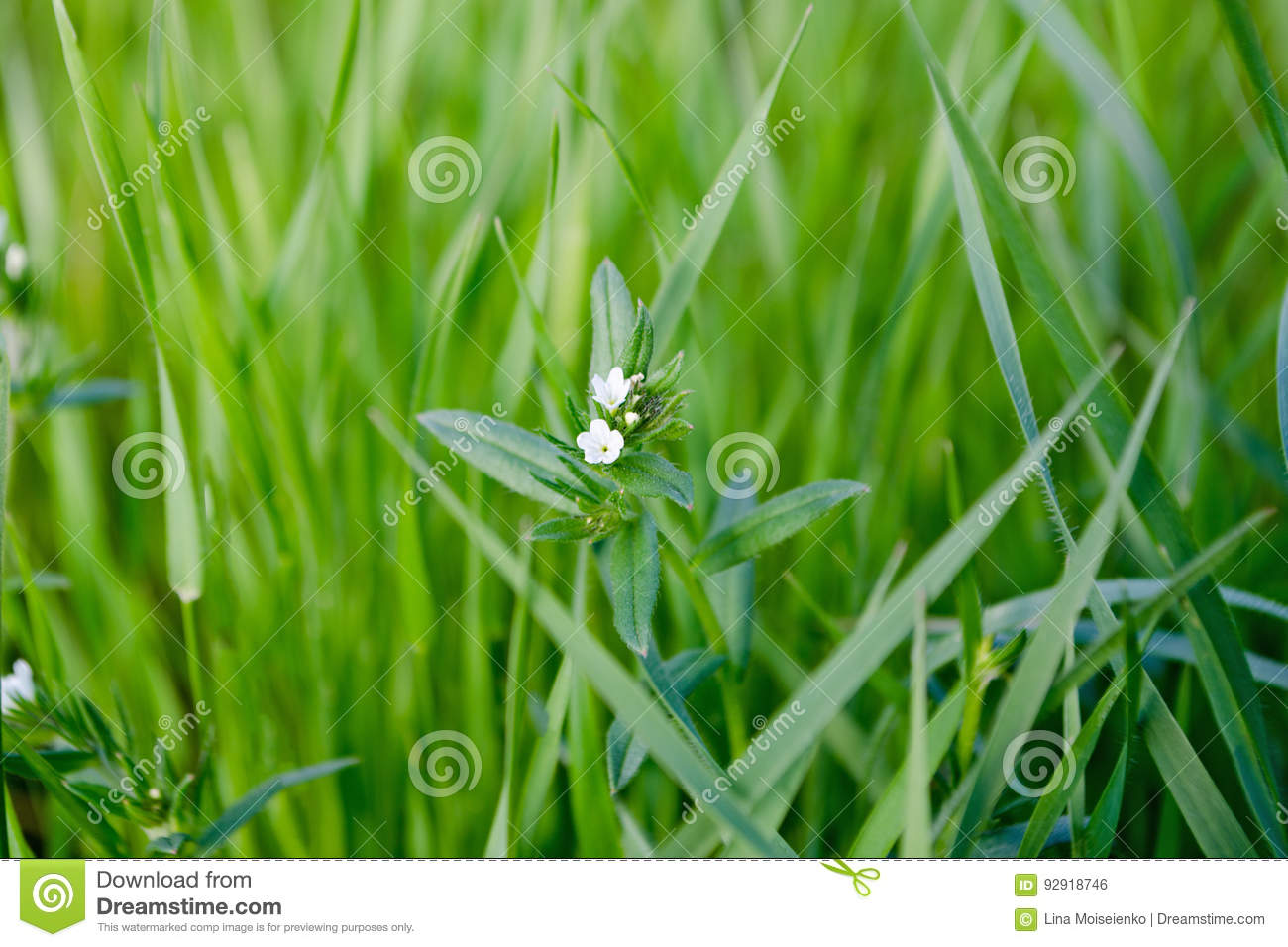 Lush Green Grass With White Small Flowers Stock Photo Image Of