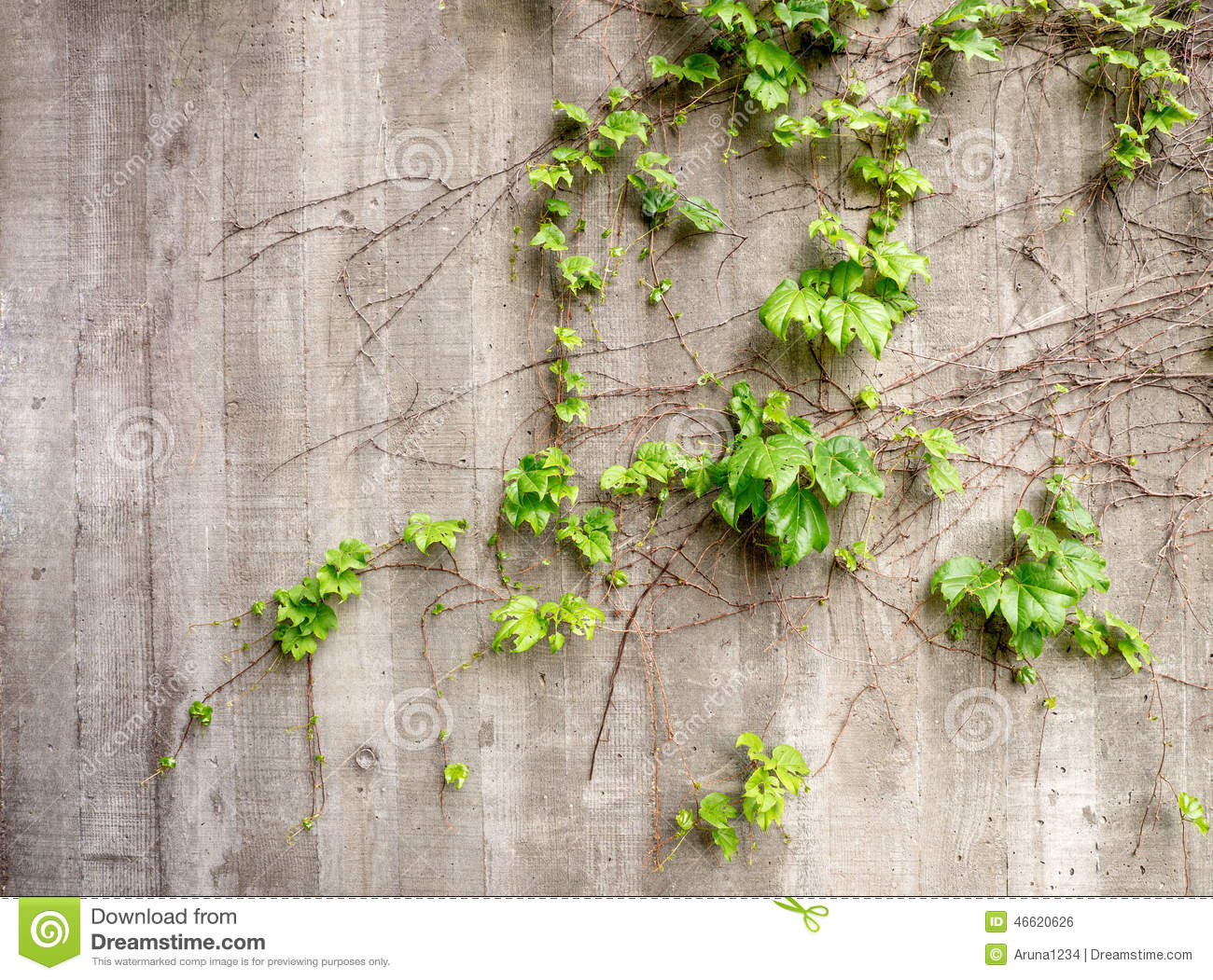Lush Green Vines Growing On Side Of Weathered Old Concrete