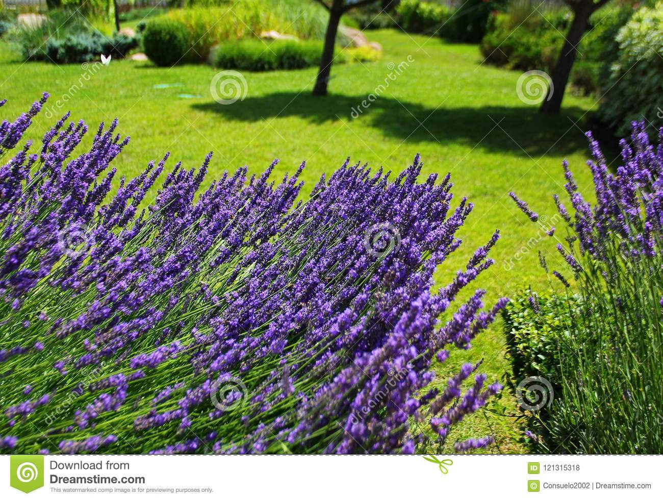 Lush Lavender Bush With Purple Flowers Stock Photo Image Of