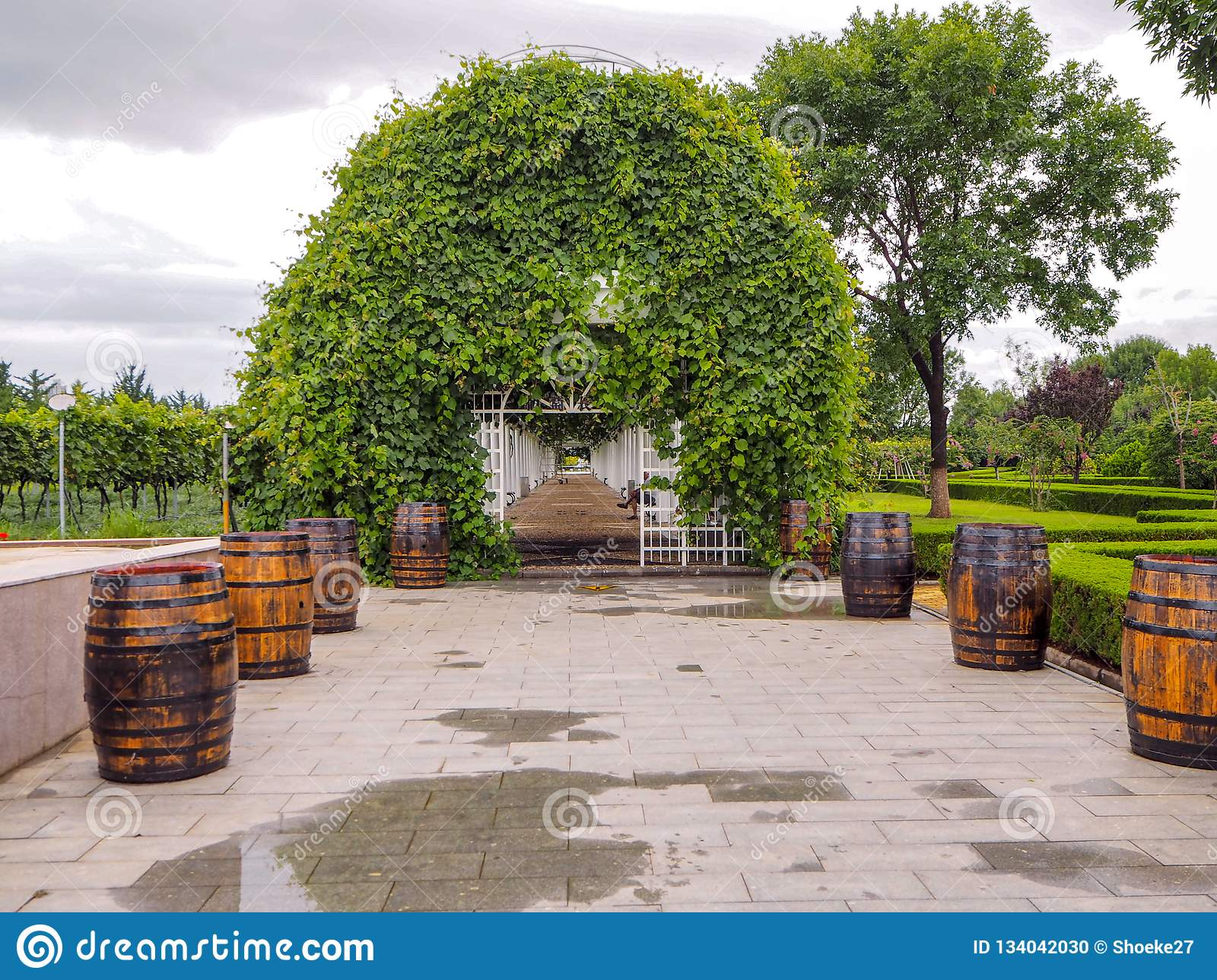 Lush pergola covered in grape vines at the Changyu vineyard estate in Yantai, the largest Chinese wine producer