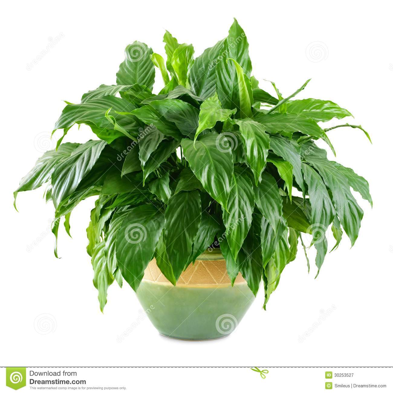Lush shiny indoor plant royalty free stock photography image 30253527 - Nice indoor plants ...
