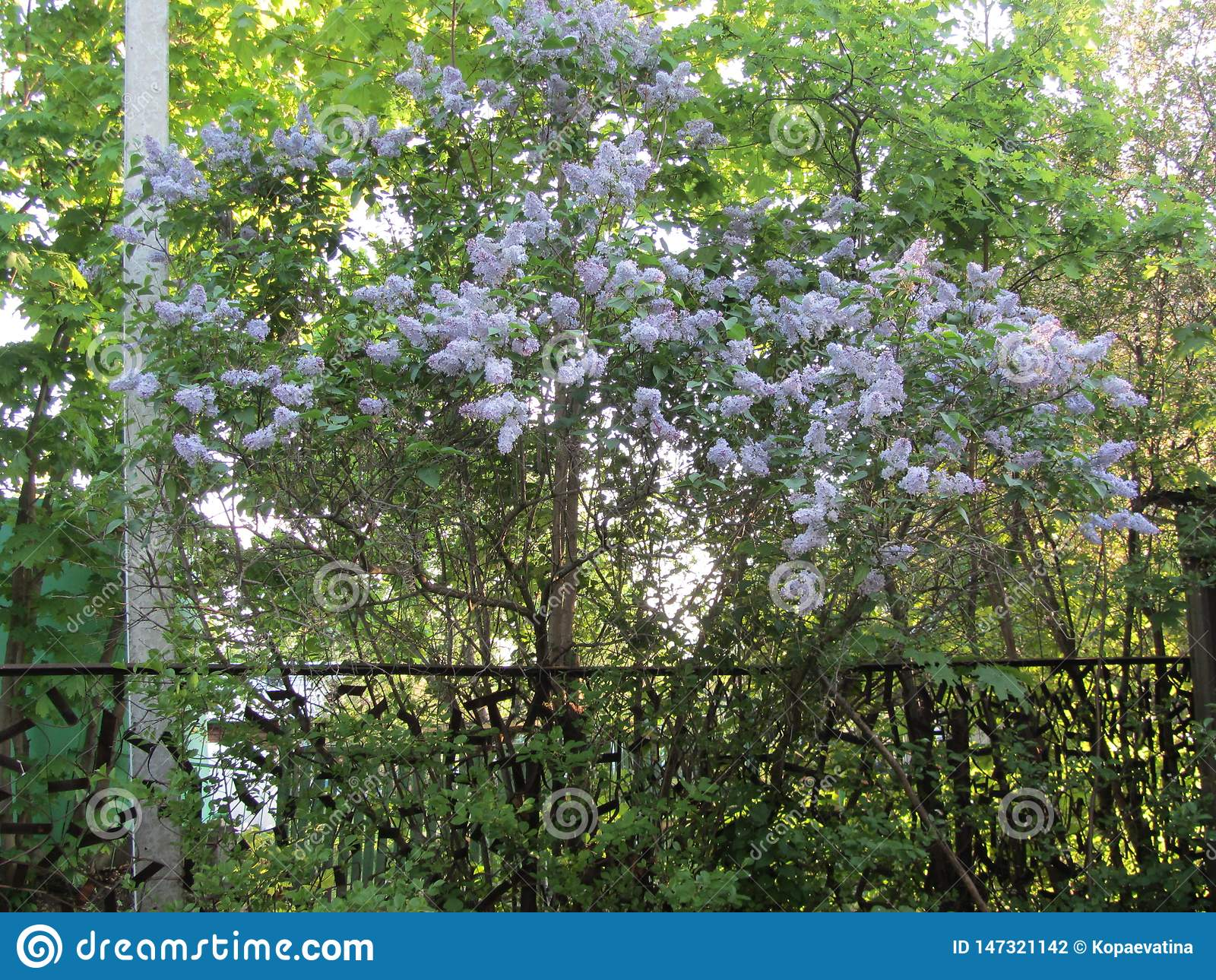 Lush and tender lilac in the garden.
