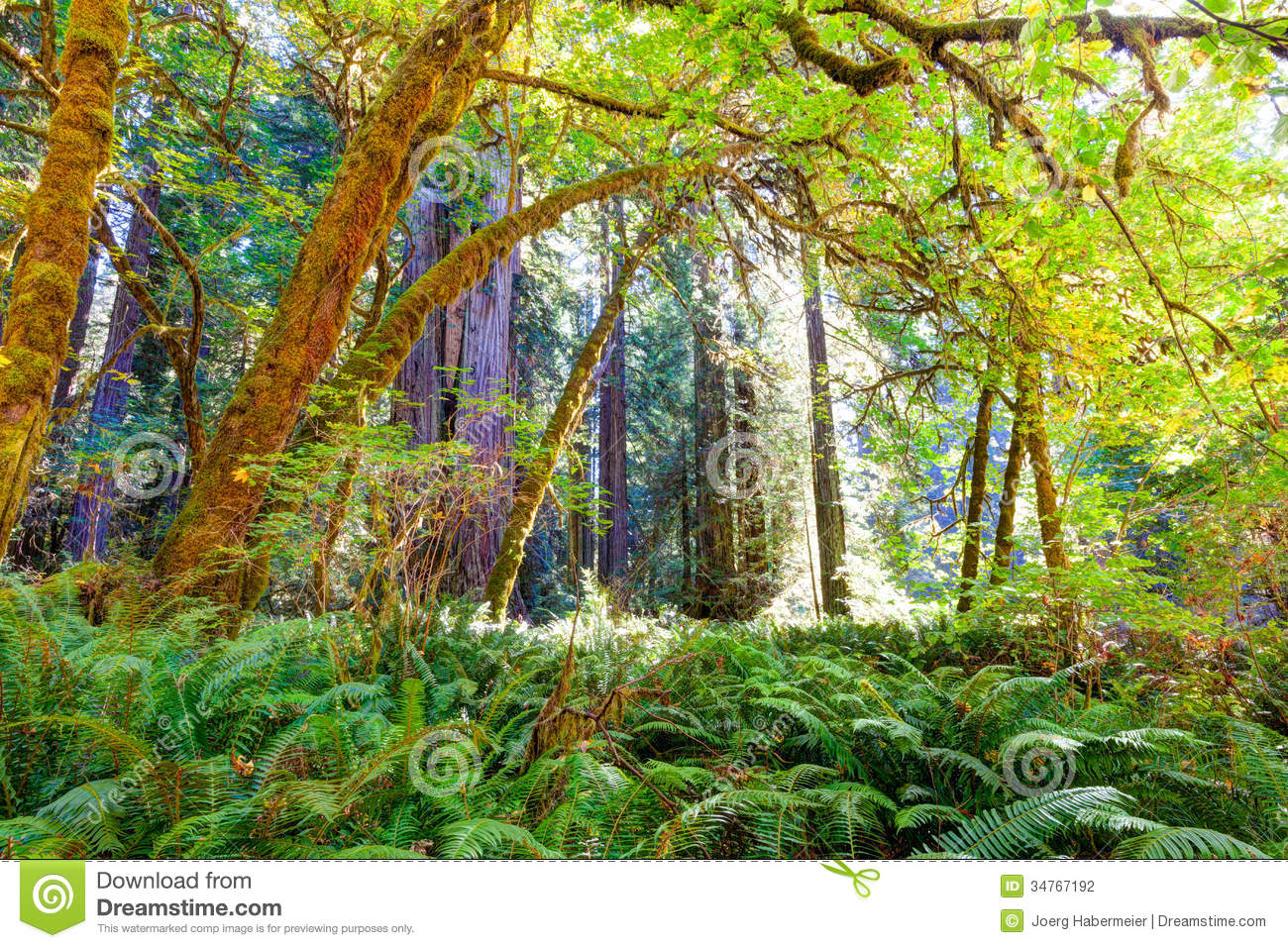 Lush understory canopy in redwood forest & Lush Understory Canopy In Redwood Forest Stock Photo - Image of ...