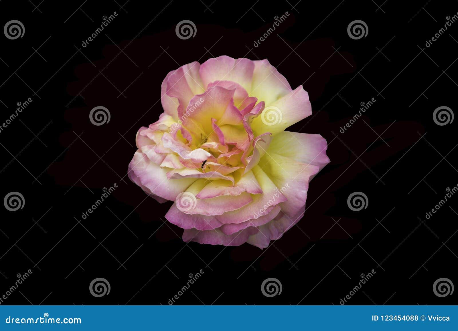 Lush yellow rose flower on black ibackground.
