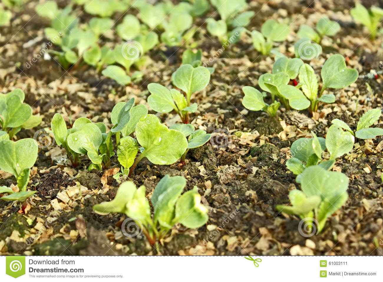 Lush young plants radish in the soil stock photo image for Soil young s modulus