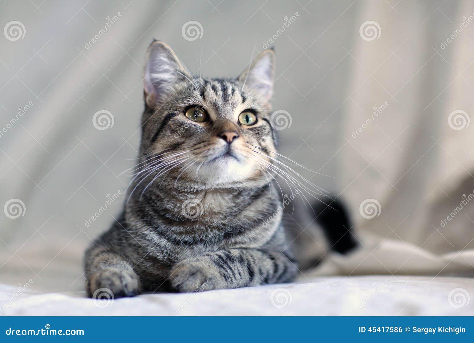 Lustige Graue Katze Auf Einem Sofa Stockfoto Bild Von Haar Augen