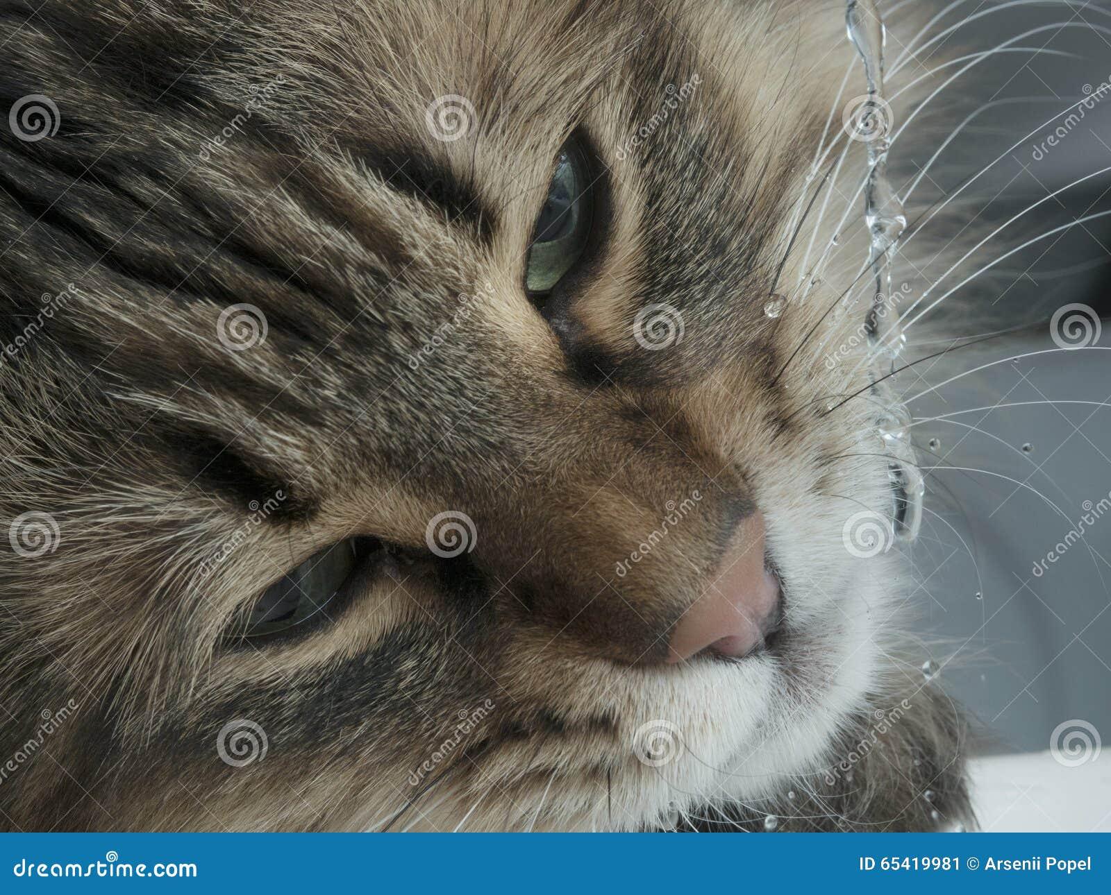 Lustige Katze Mit Trinkwasser Der Reisszahne Im Badezimmer Stockbild