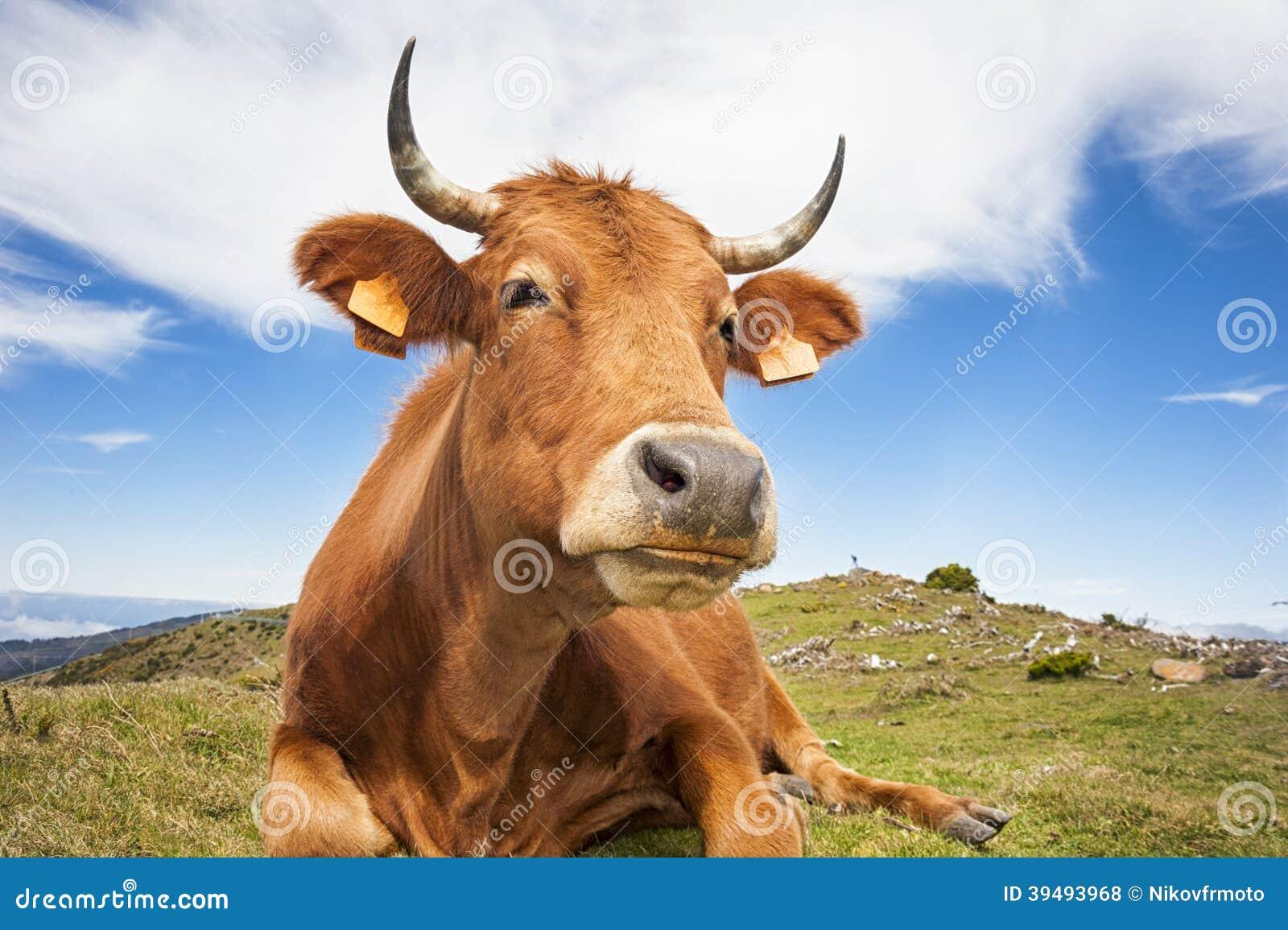lustige kuh stockfoto bild von bauernhof lustig
