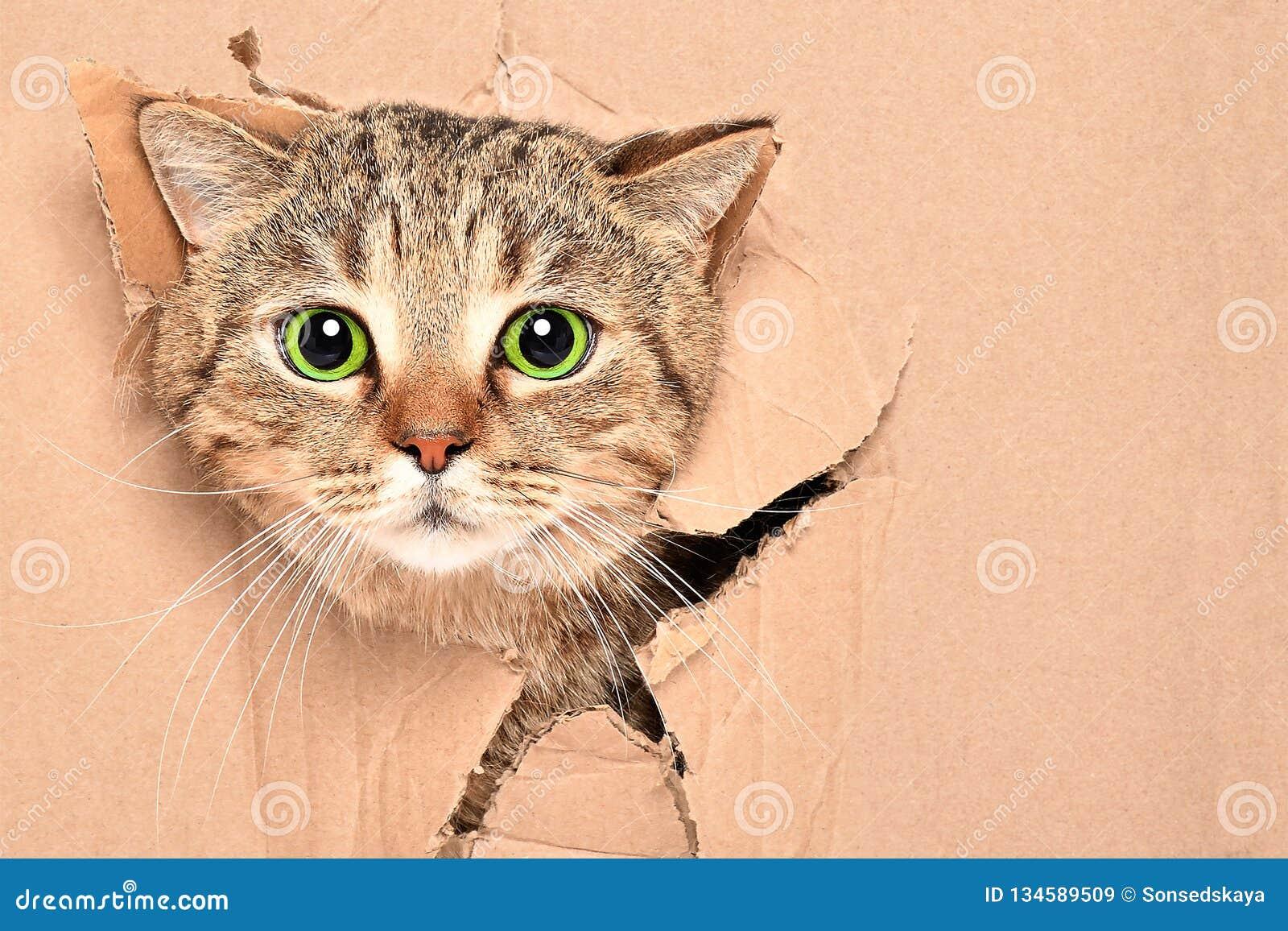 Lustige nette Katze schaut aus einem heftigen Loch in einem Kasten heraus