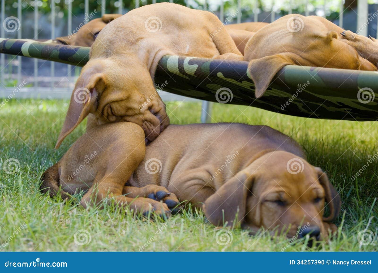 Lustige Position Schlafens des entzückenden kleinen Welpen