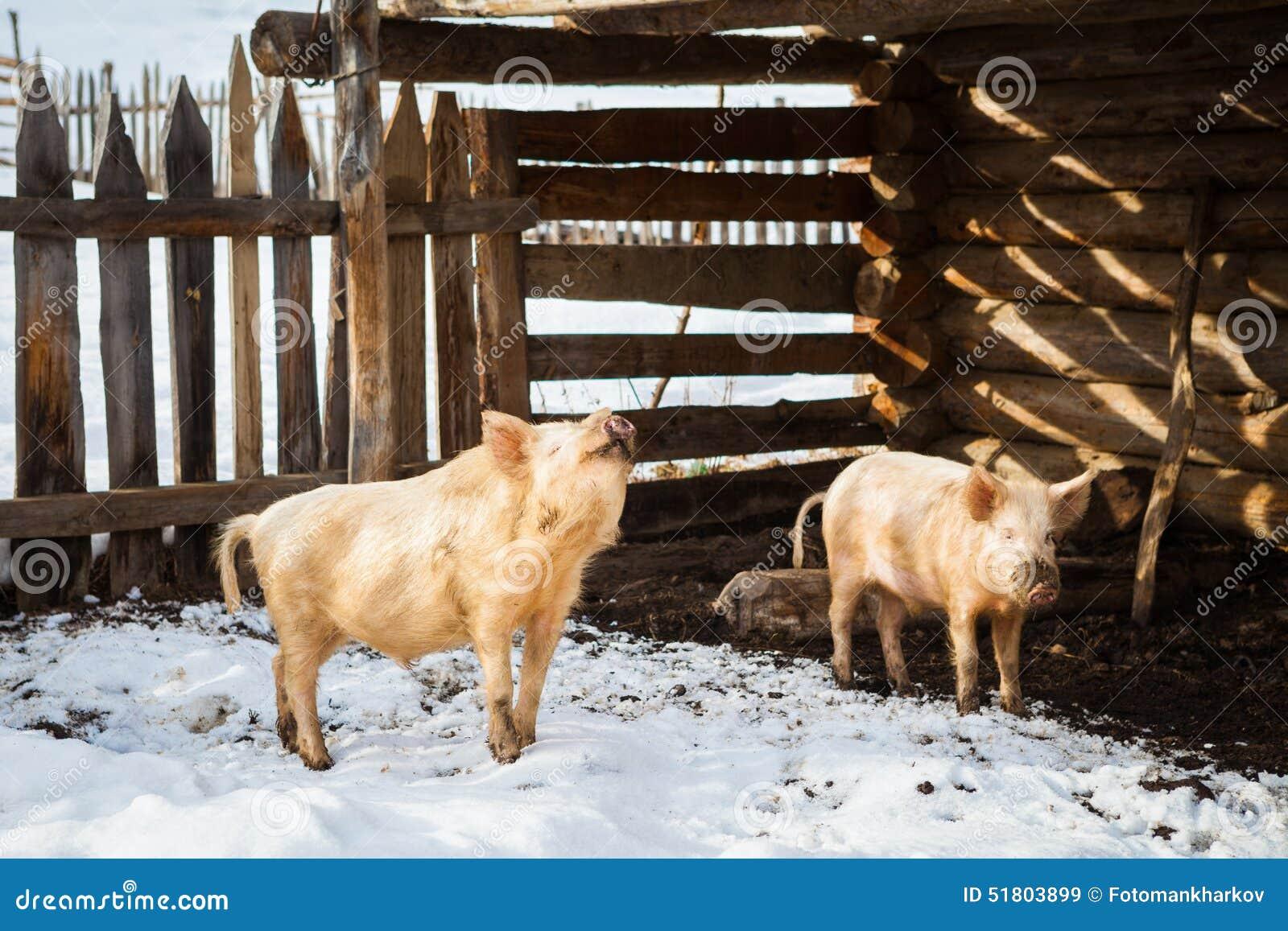 lustige schweine in einem bauernhof stockbild  bild von