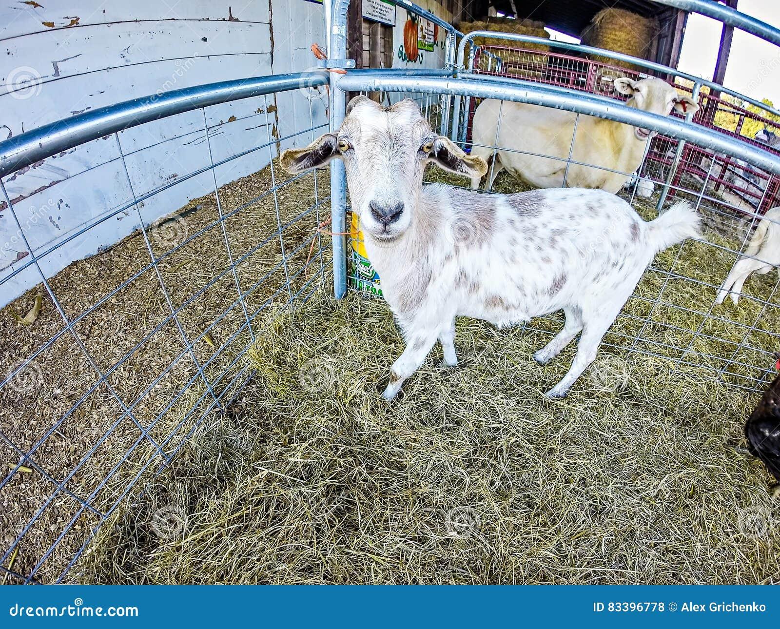 Lustige Ziege Hinter Zaun Am Bauernhof Stockfoto Bild Von Jung