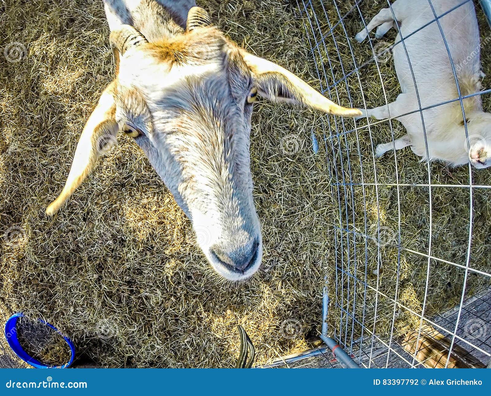 Lustige Ziege Hinter Zaun Am Bauernhof Stockfoto Bild Von
