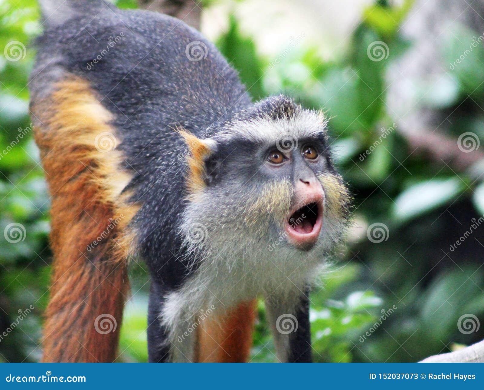 Lustiger heulender Affe