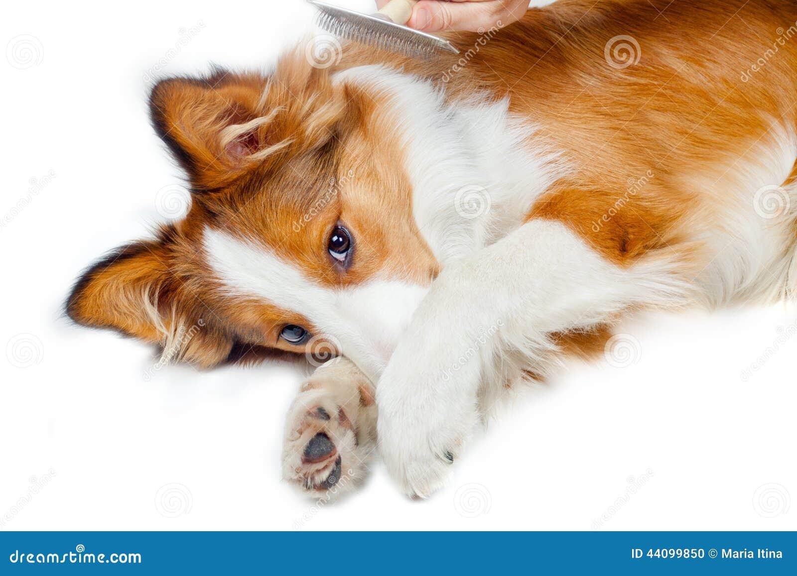 Lustiger Hund, der Furcht vor dem Pflegen zeigt