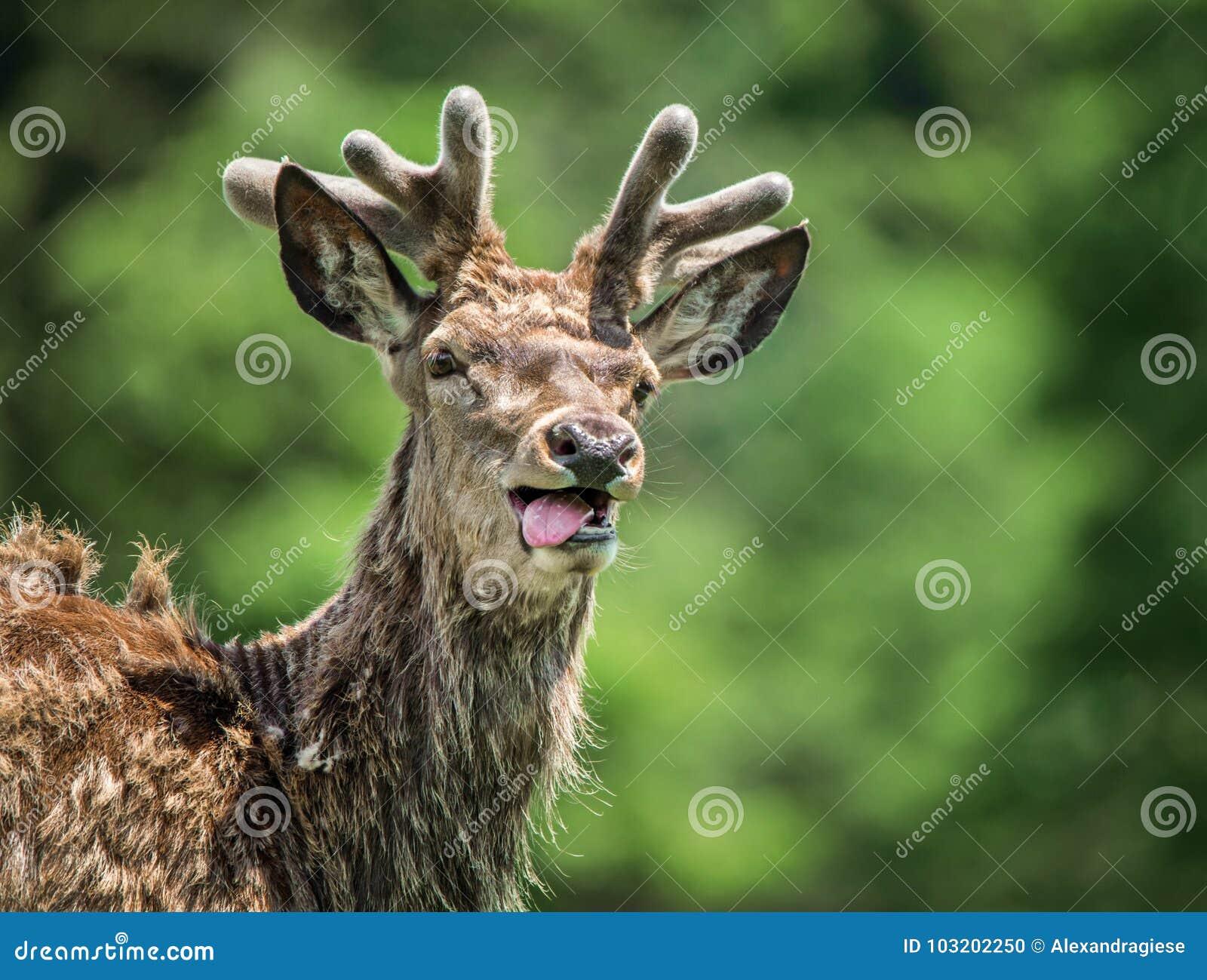 Lustiges Hirschporträt