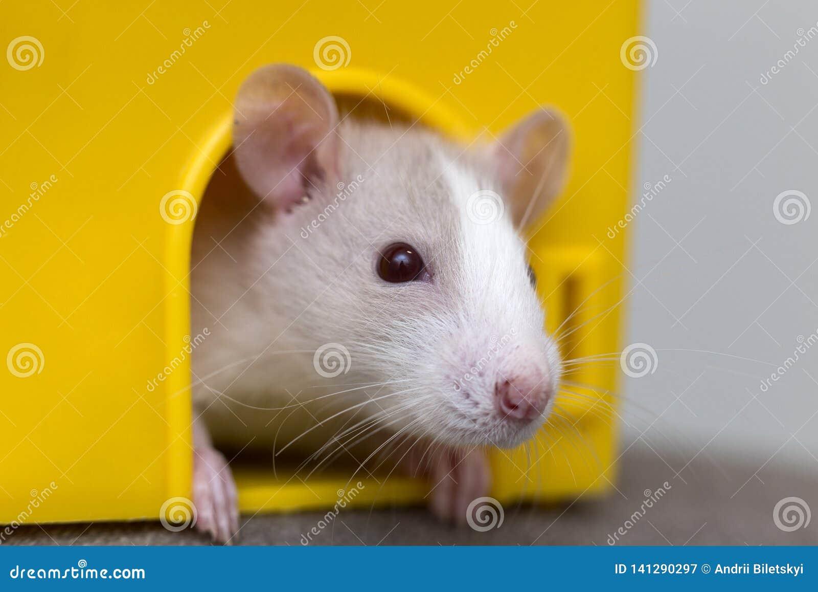 Lustiges junges weißes und graues zahmes neugieriges Mäusehamsterbaby mit den glänzenden Augen, die vom hellen gelben Käfigfenste