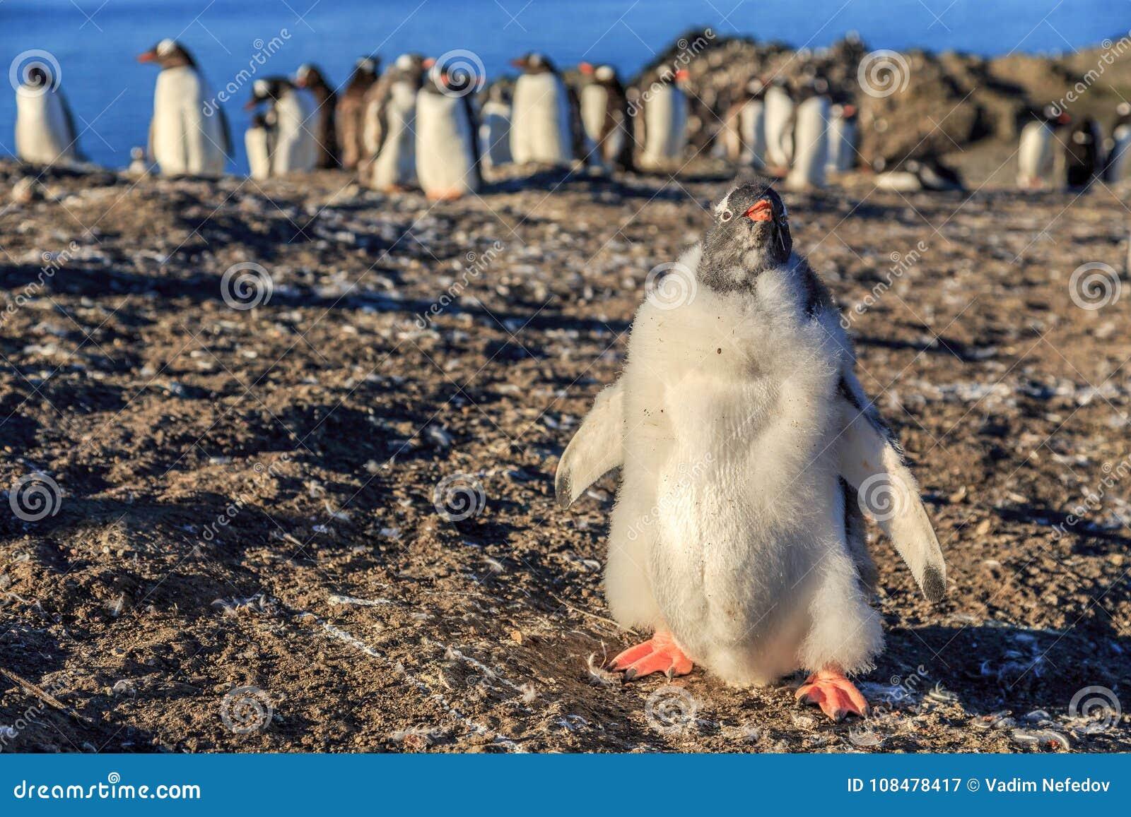Lustiges Pelz-gentoo Pinguinküken, das in der Front mit seinem Flöckchen steht
