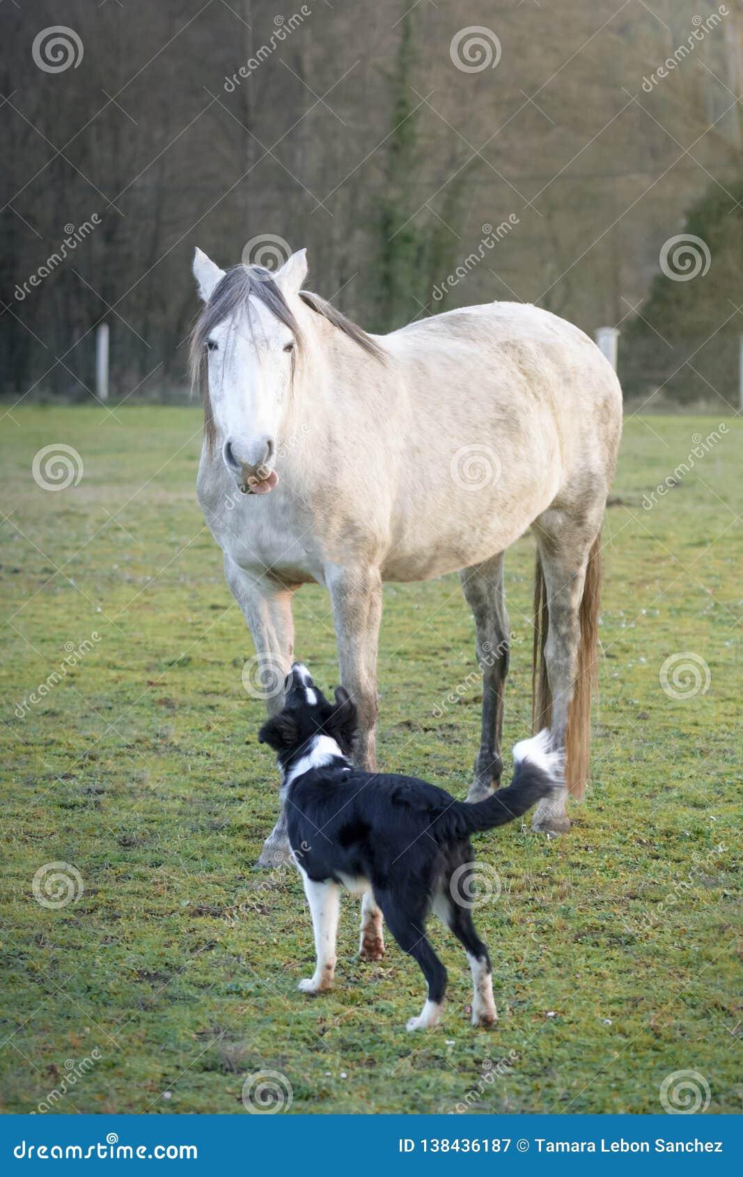 Lustiges spanisches Pferd, welches die Zunge zu einem Border collie-Welpen wirft, der bellt