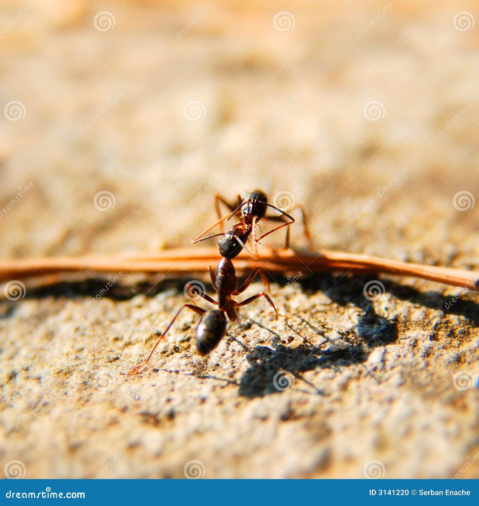 Luta das formigas