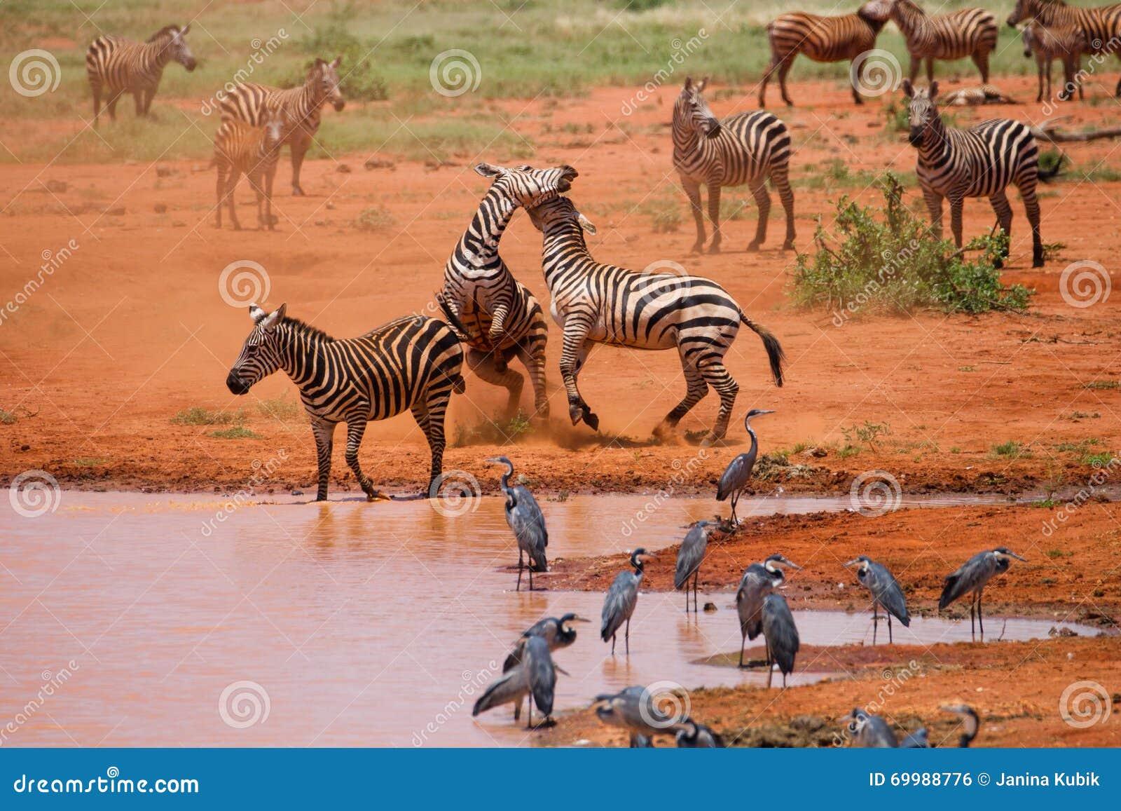 Luta das zebras no parque nacional de Tsavo