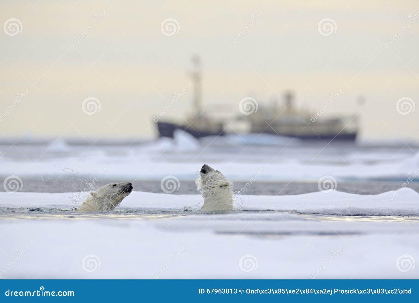 Luta de ursos polares na água entre o gelo de tração com neve, microplaqueta borrada do cruzeiro no fundo, Svalbard, Noruega