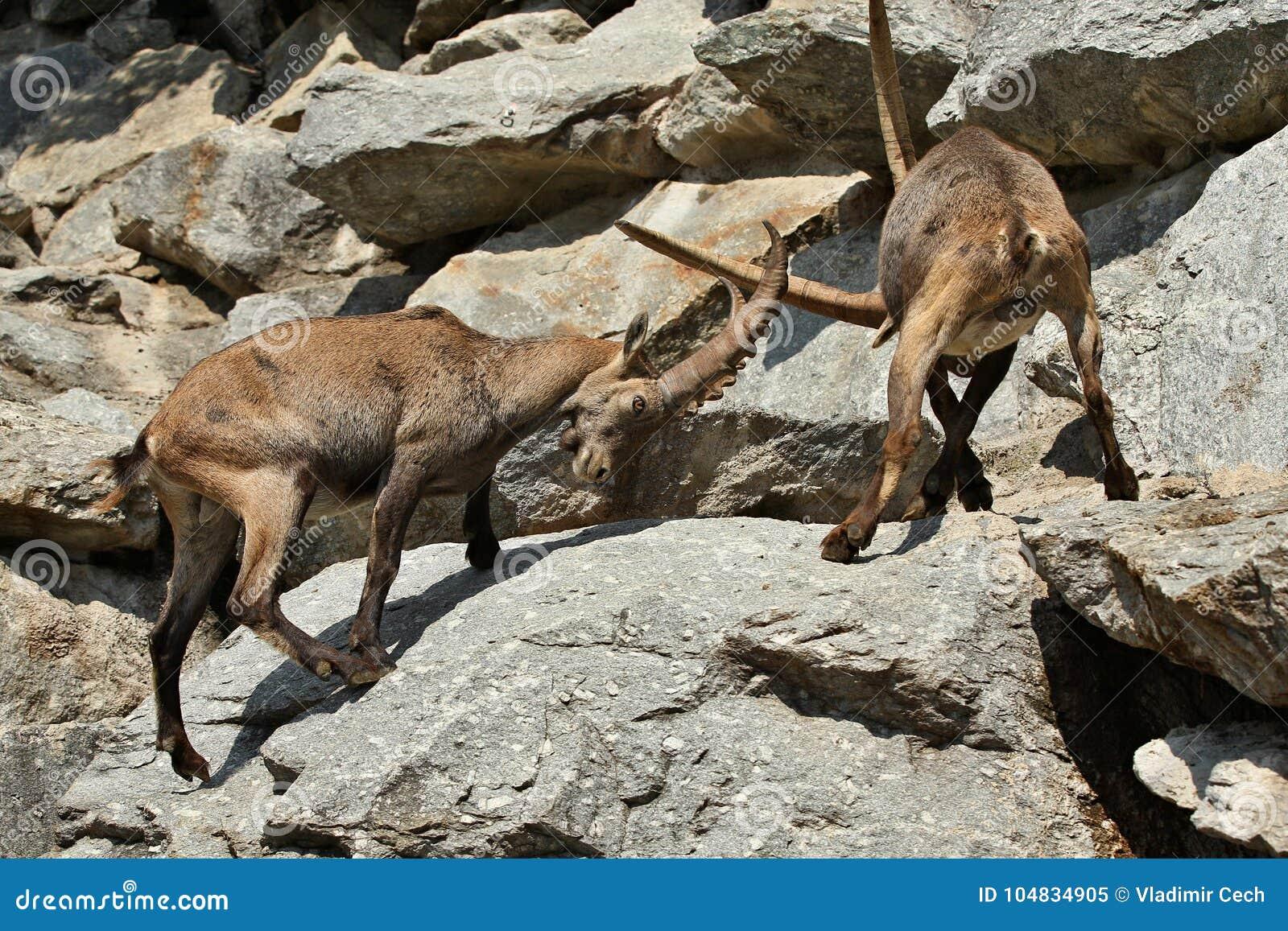 Luta do íbex na área de montanha rochosa