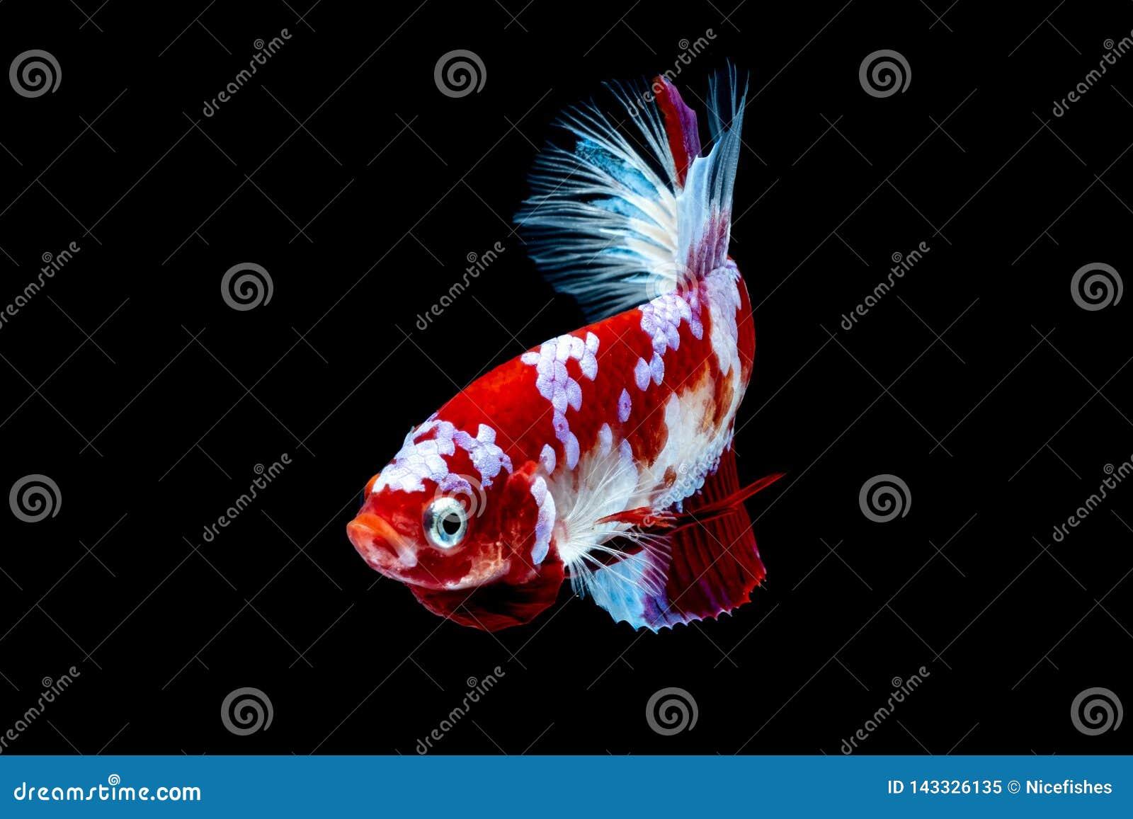 Luta dos peixes de Betta no blackground do preto do aquário