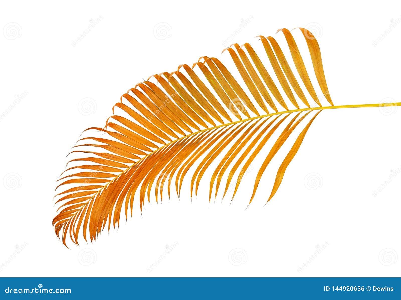 Lutescens amarelos de Dypsis das folhas de palmeira ou palma dourada do bast