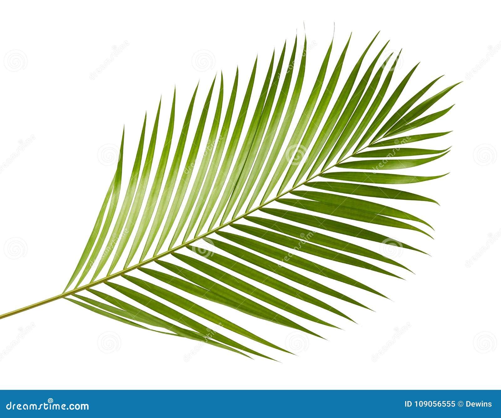Lutescens jaunes de Dypsis de palmettes ou paume d or de canne, palmettes d arec, feuillage tropical d isolement sur le fond blan