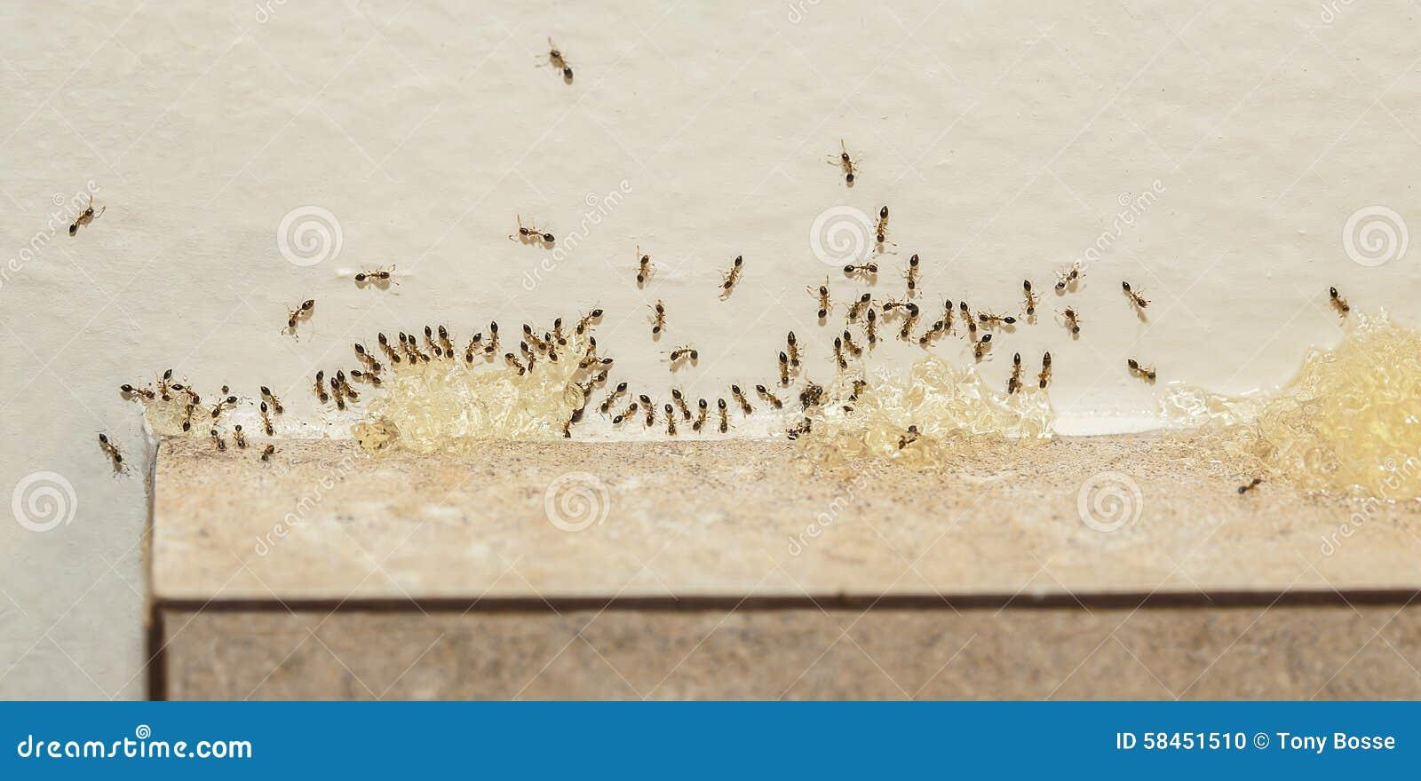 lutte contre les parasites sugar ants eating bait photo stock image du liminez rampement. Black Bedroom Furniture Sets. Home Design Ideas