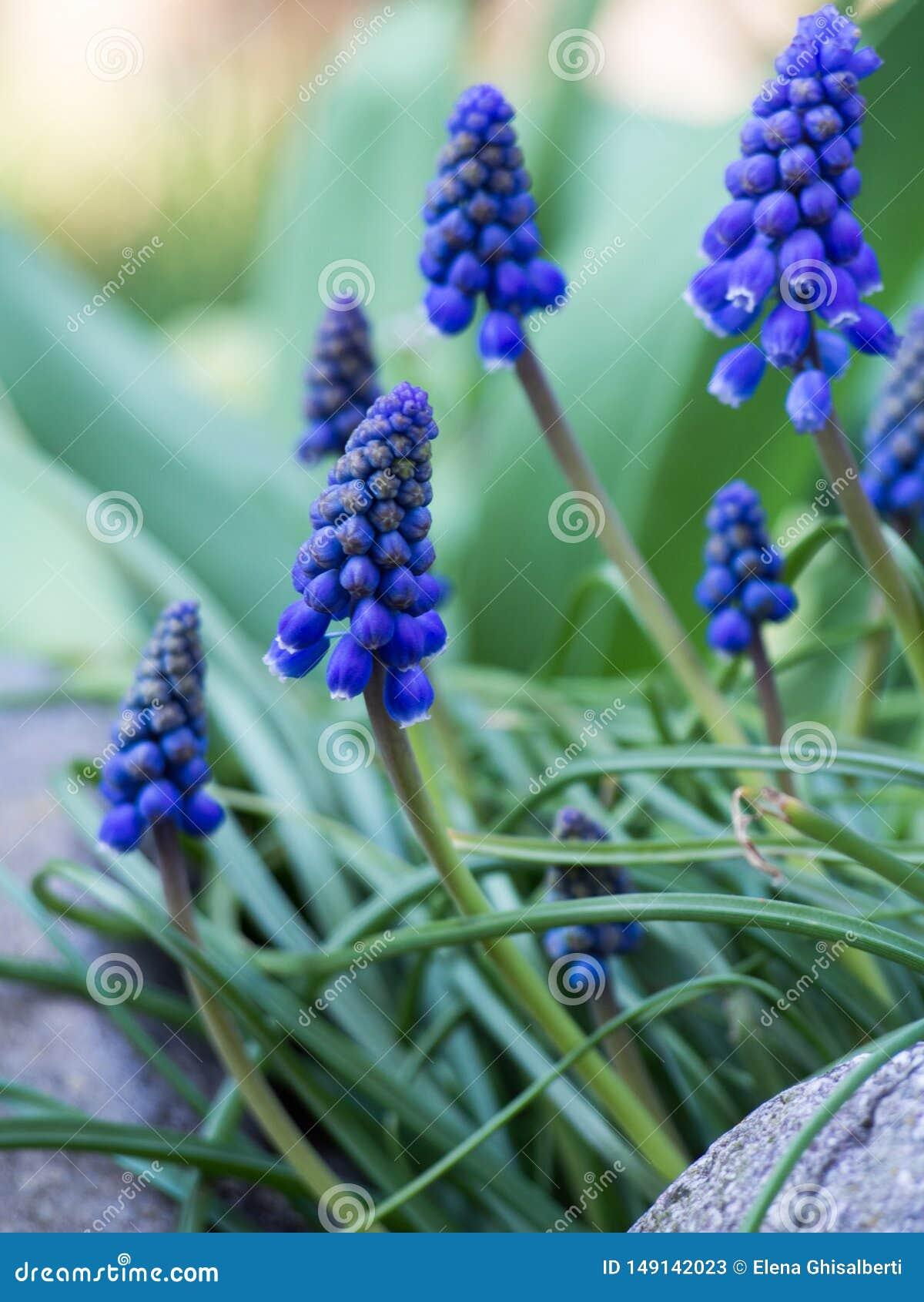 Luz bonita da flor do muscari - azul em um jardim