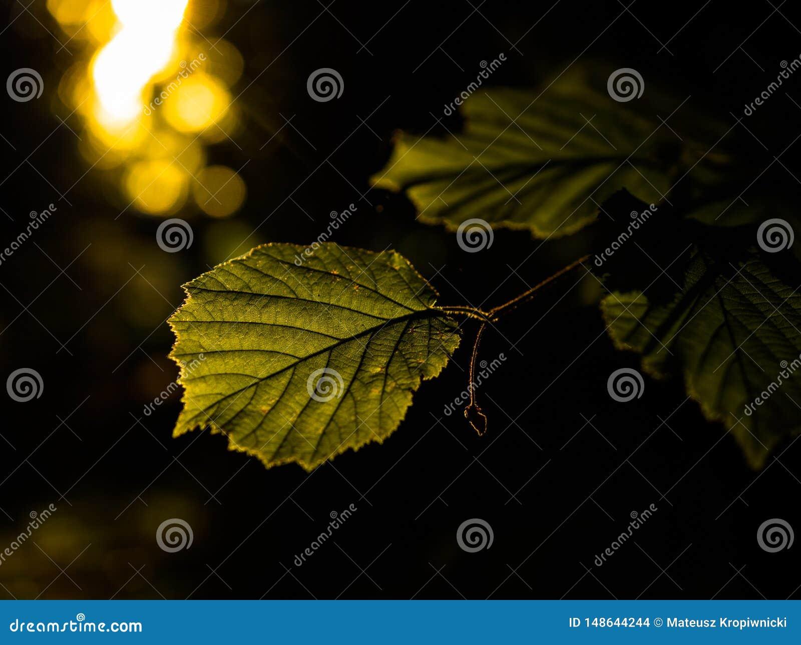 Luz de oro dramática de la hora que ilumina las hojas jovenes del verano
