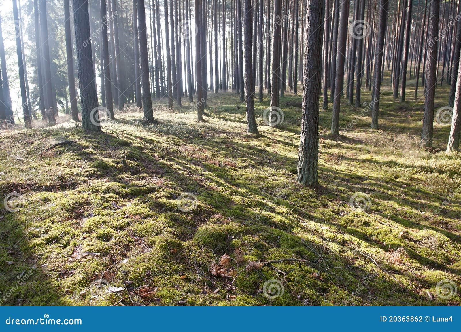 Luz del sol en el bosque