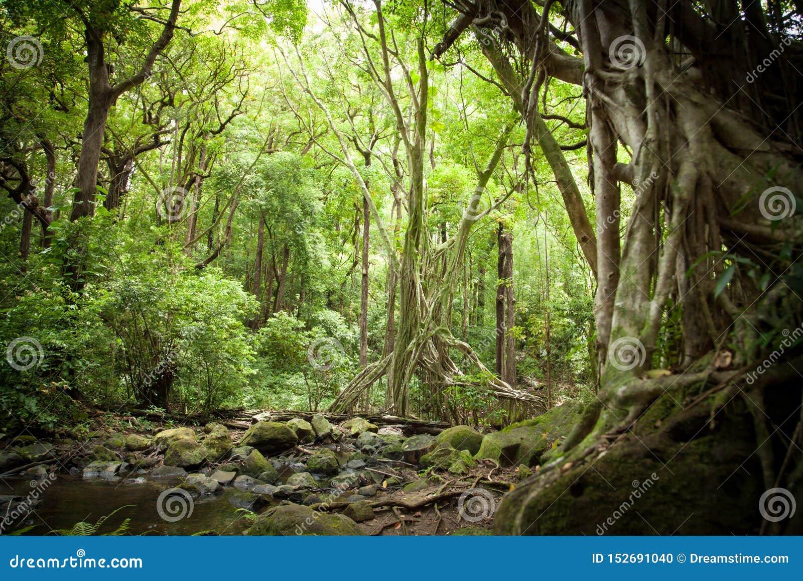 Luz del sol filtrada toldo en selva de la selva tropical