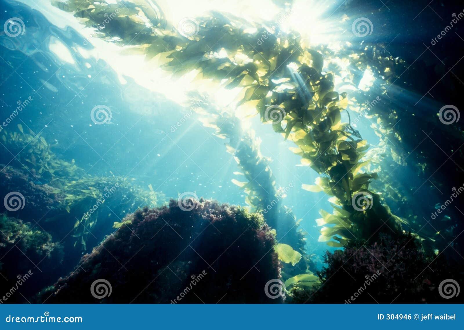 Luz do sol da floresta do Kelp