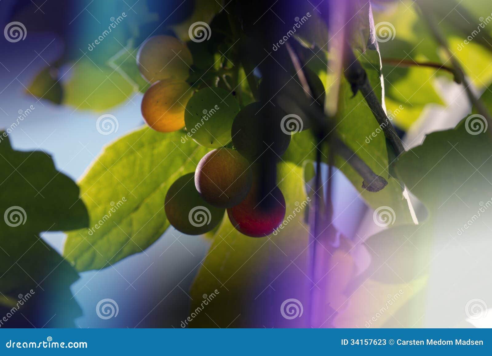 Luz e uvas roxas
