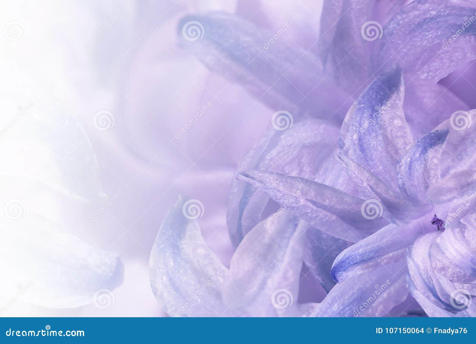 Luz floral - roxo - fundo branco Flores do close-up branco-azul-violeta do jacinto Colagem da flor para o cartão