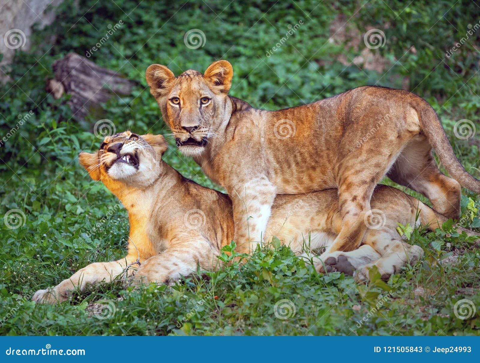 Lwów lisiątka śliczni