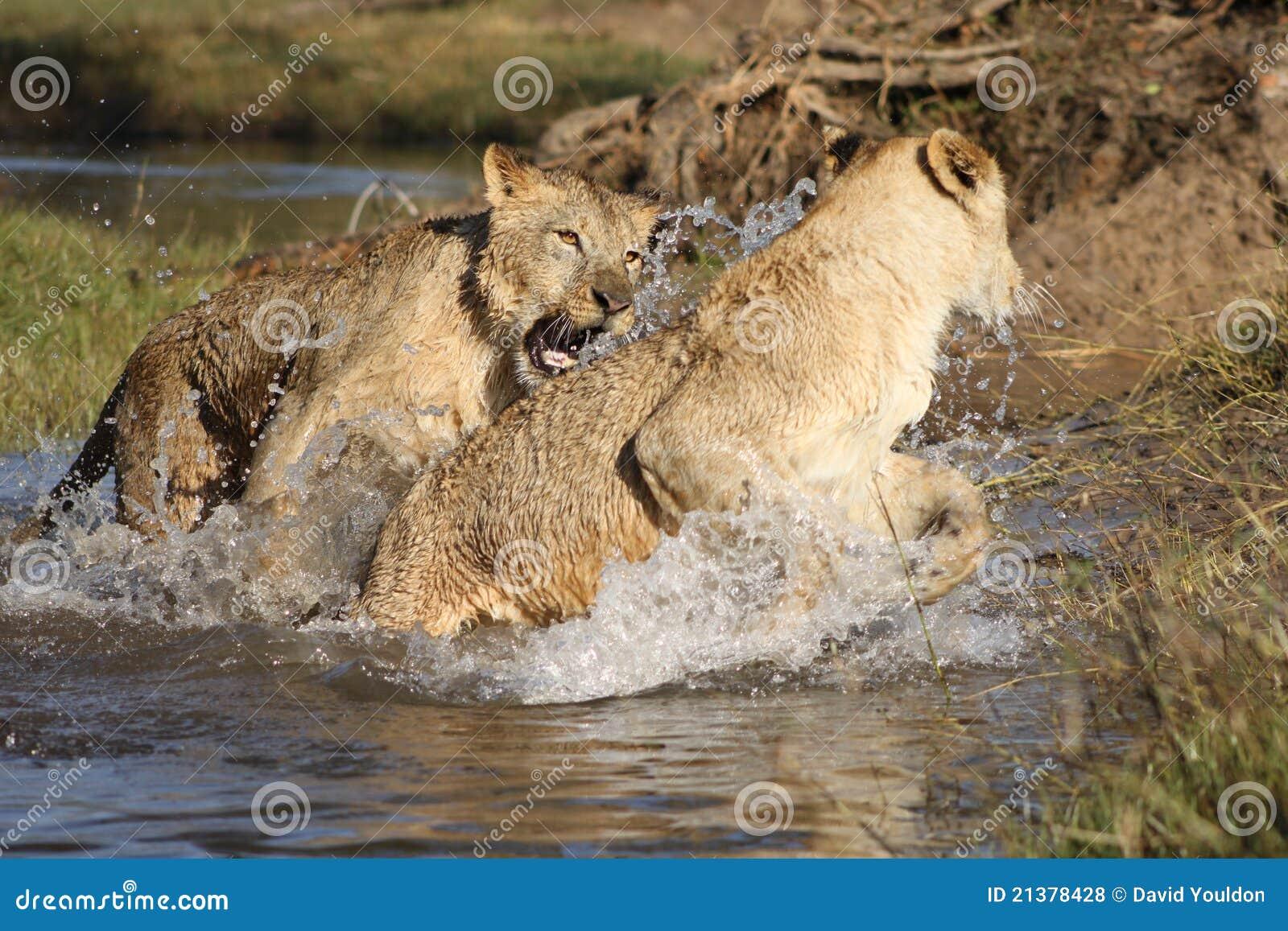 Lwów zambiowie