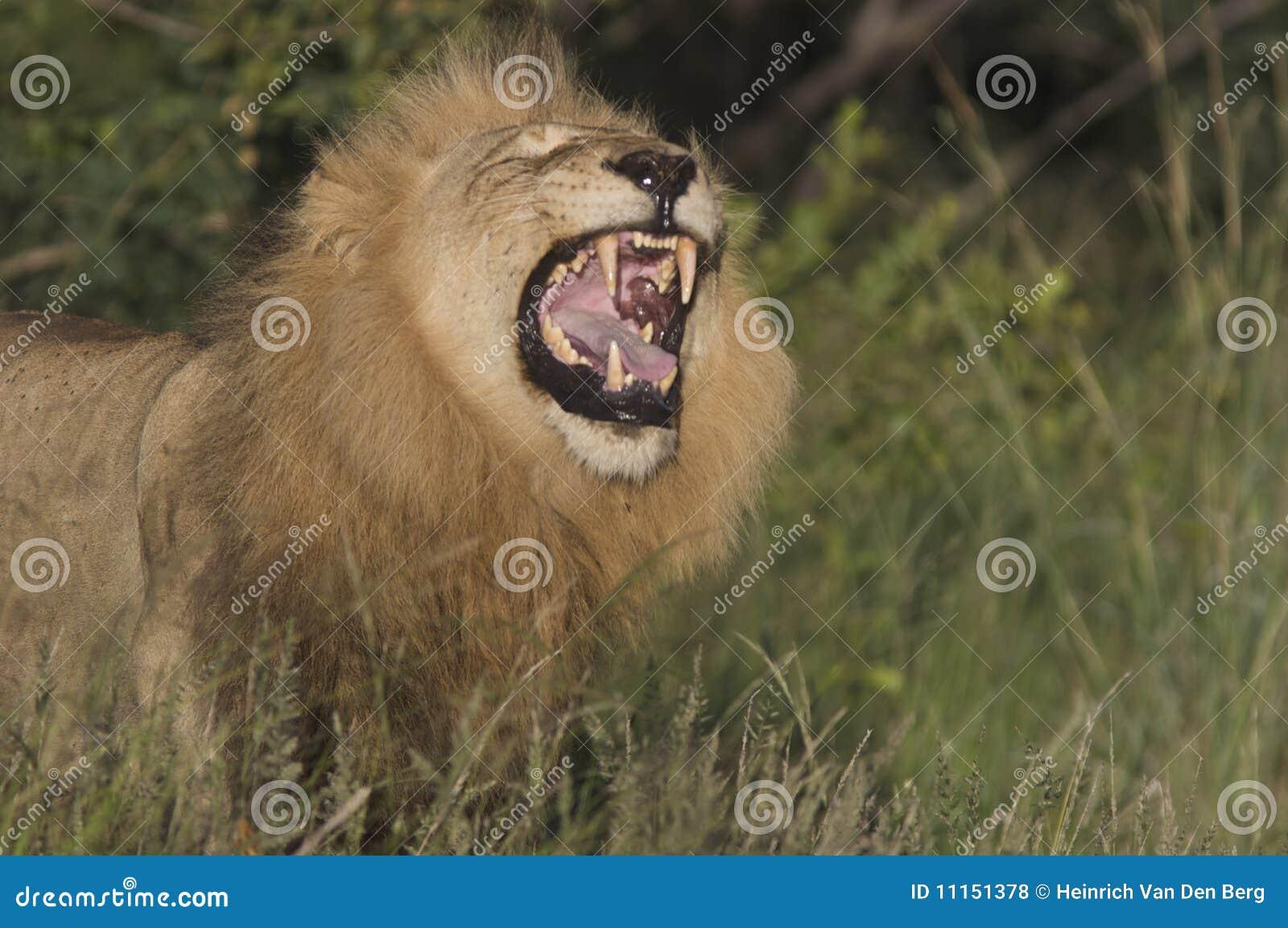 Lwa huczenie