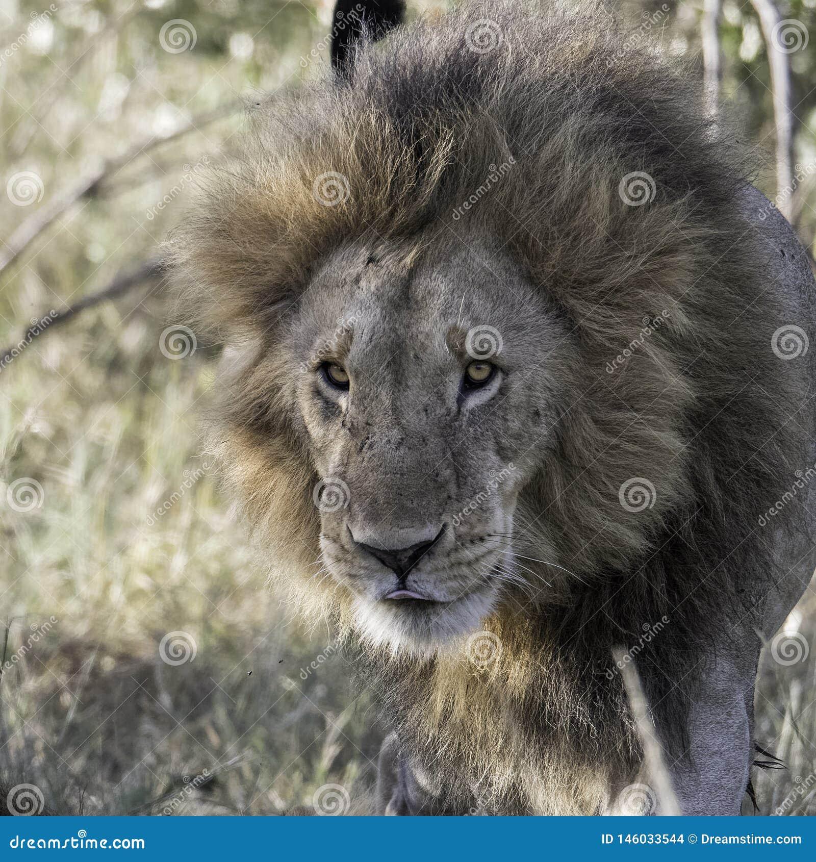 Lwa przyjazd w sawannie, Kenja