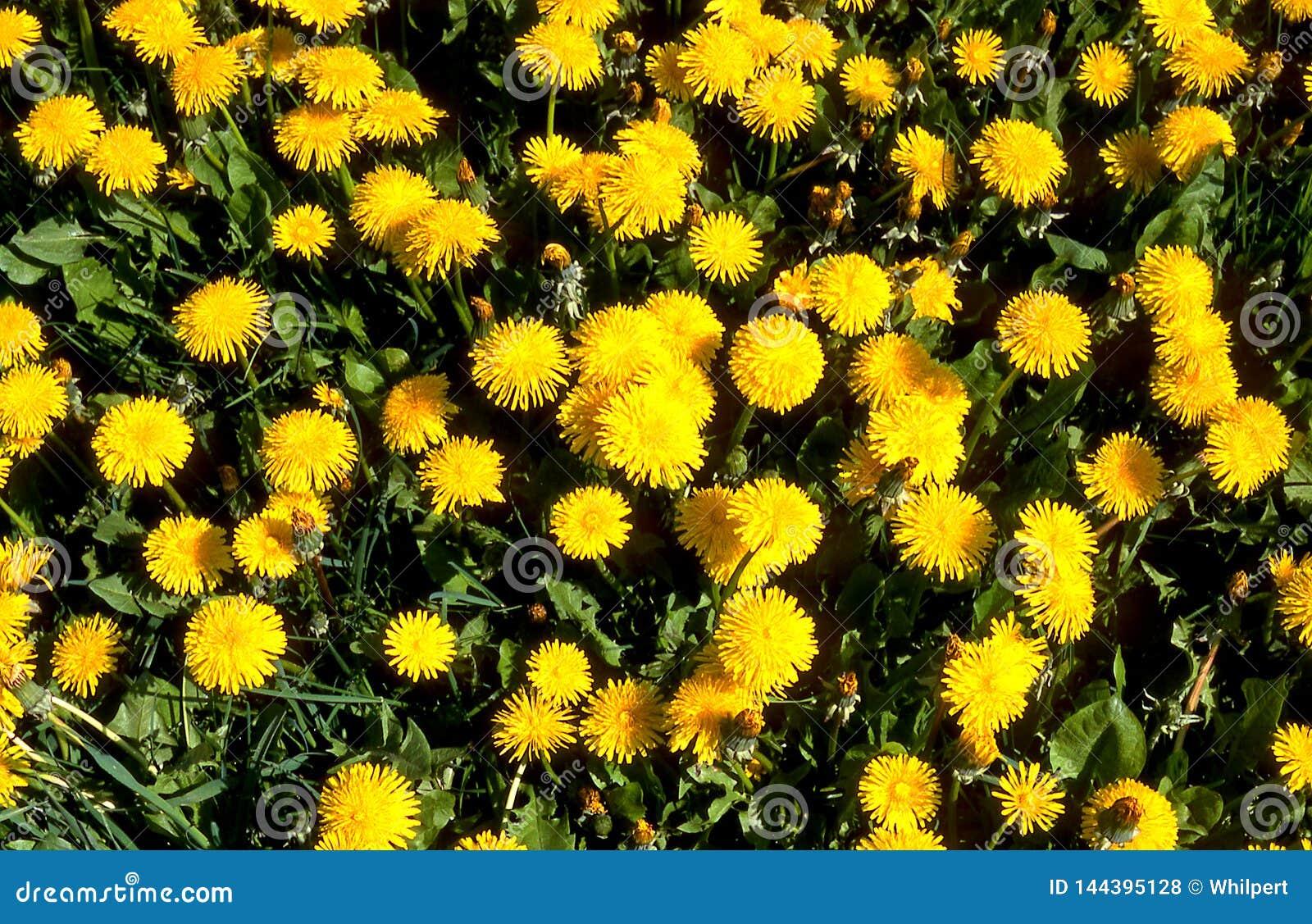 Lwa ząb Ogródu i gazonu właściciele no lubią łąkowego kwiatu