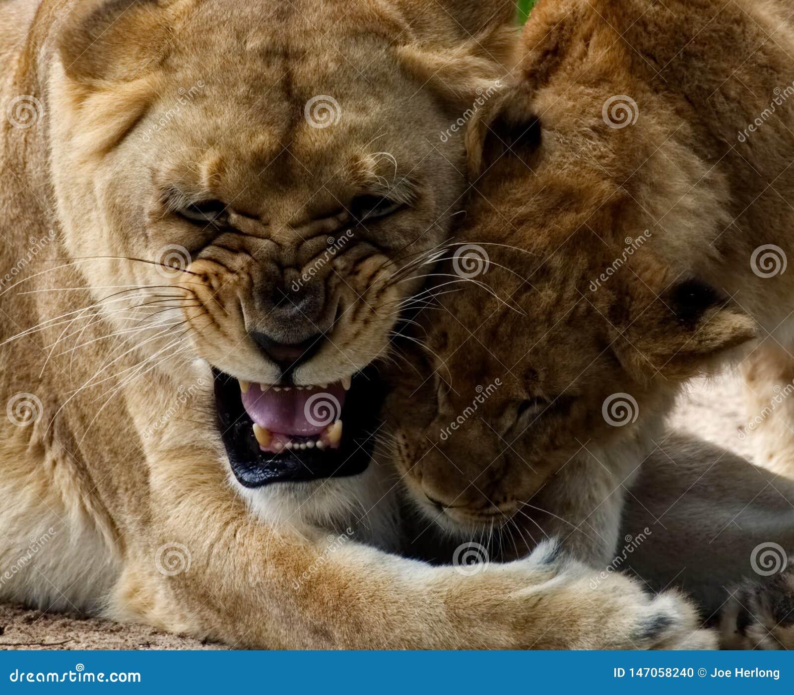 Lwica bawić się z jej lisiątkiem