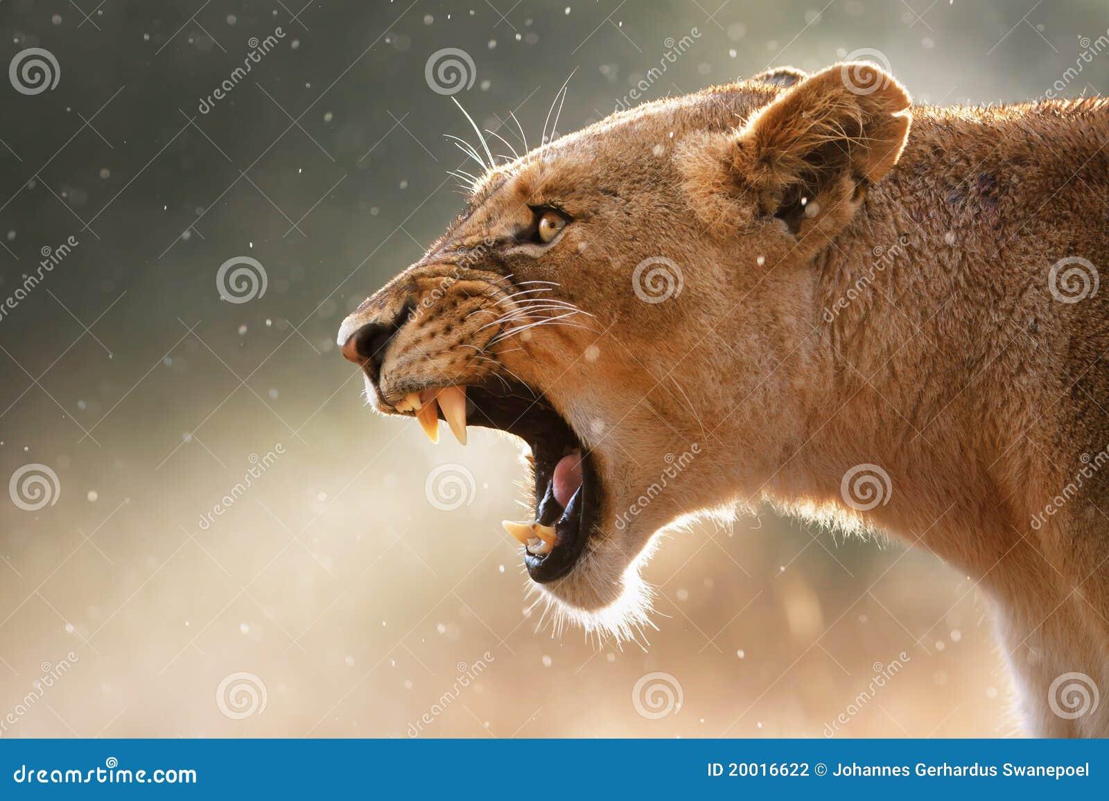 Lwica niebezpieczni target967_0_ zęby