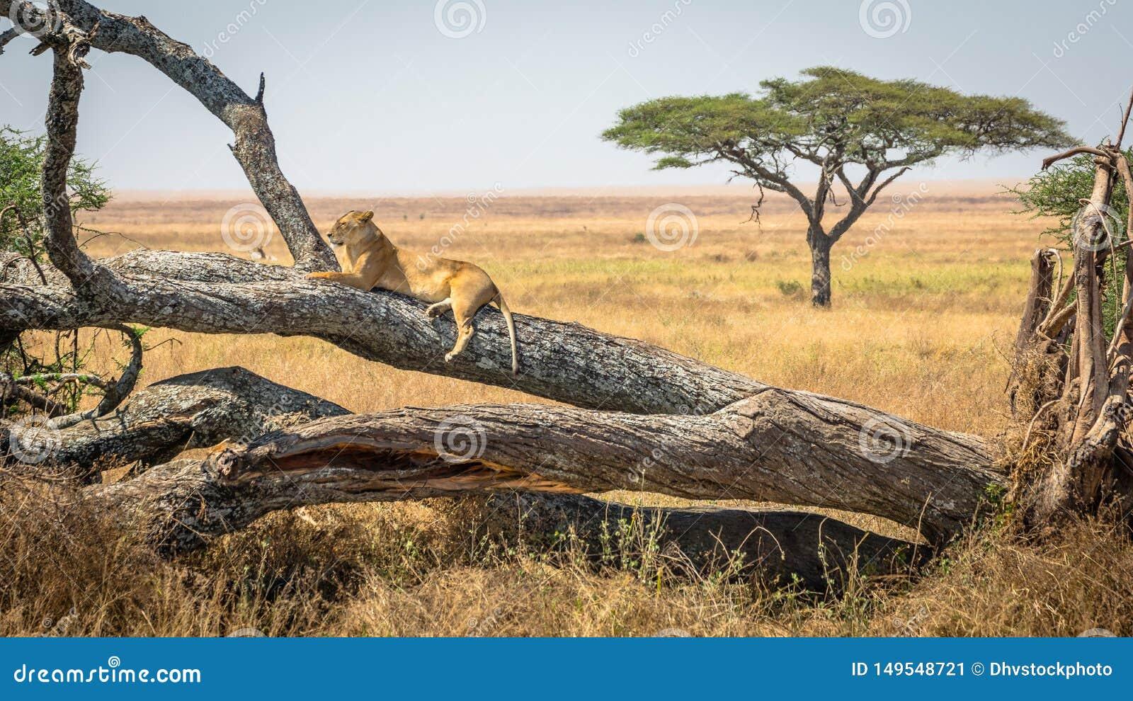 Lwica odpoczywa na drzewie, przy Serengeti parkiem narodowym, Tanzania