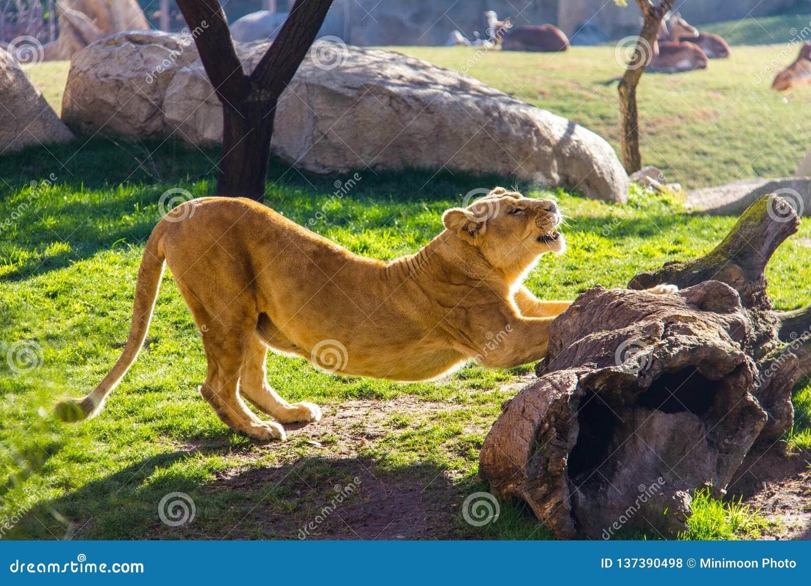 Lwicy rozciąganie na skale