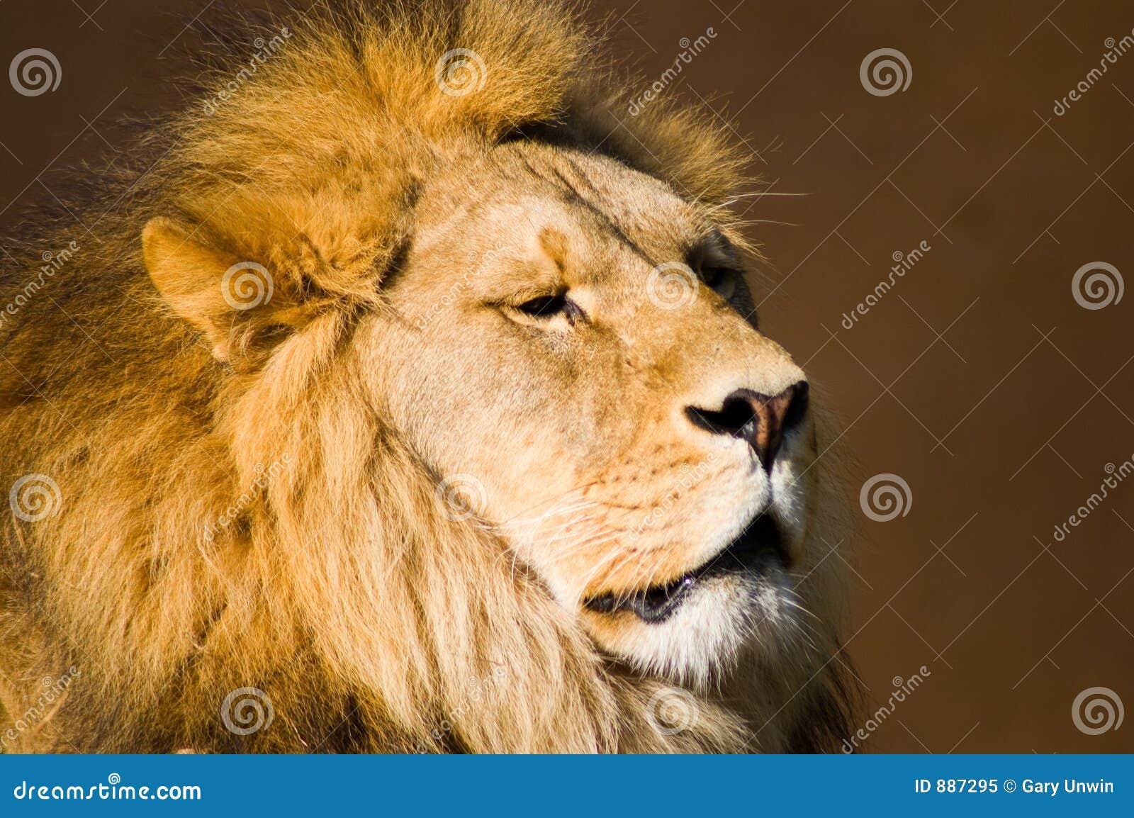 Lwy głowy