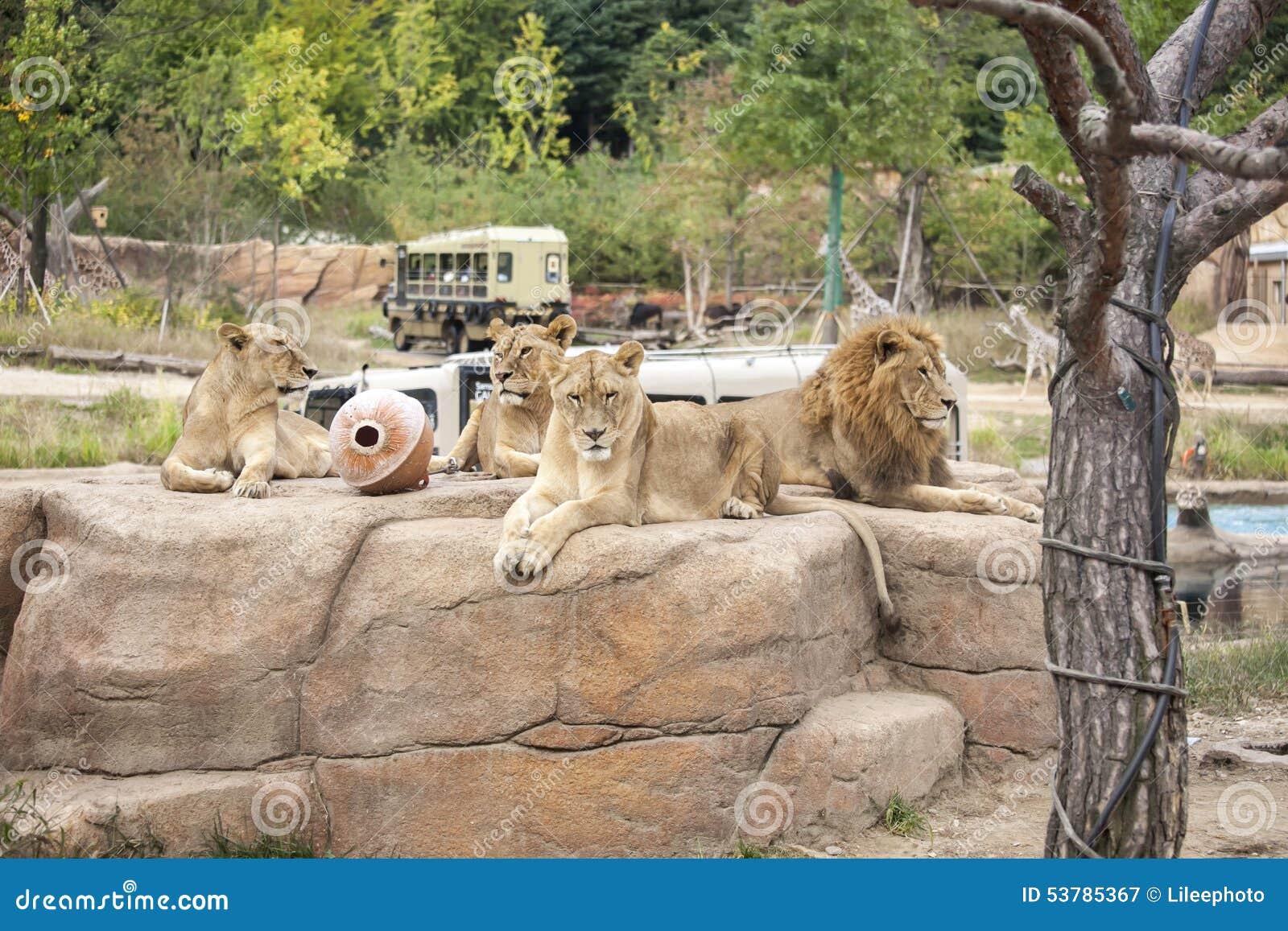 Lwy grupują w safari zoo